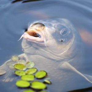 Conseils pour réussir à pêcher la carpe